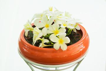 White Plumeria flower on a clay pot