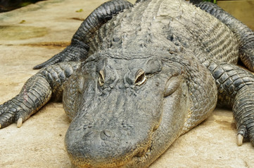 regard de crocodile