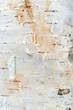 White Birch Tree Bark Texture - 71781982