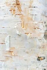 White Birch Tree Bark Texture