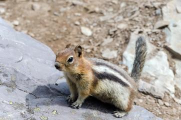 Chipmunk nel parco nazionale di Banff