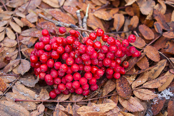 Rowan berries on the withered autumn leaves