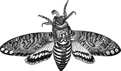 Vintage Illustration   night-fly death's-head moth