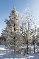 picturesque nature in the north of Russia in the winter