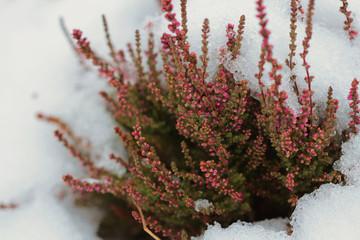 Snow flowers of heather