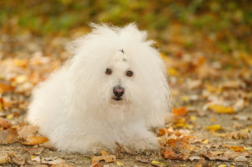 Bichon bolognese dog relax in autumn park