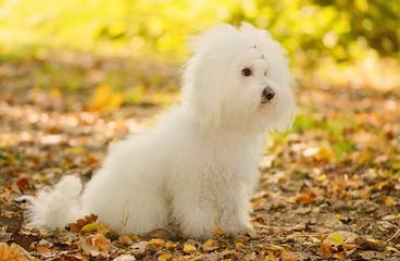 Bichon bolognese dog sit in autumn park