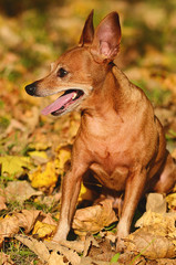 Miniature pinscher on autumn day