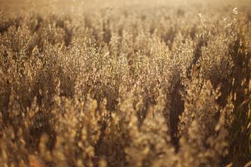 Ripe bread whole wheat field
