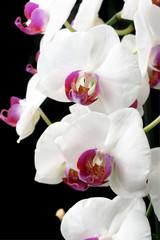 Moth Orchids (phalaenopsis)
