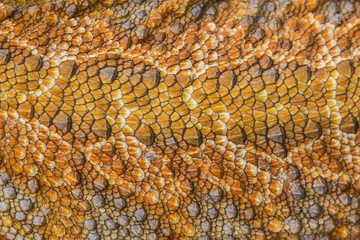 Bearded dragon - Pogona vitticeps detail of skin