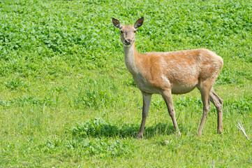 Female deer in nature