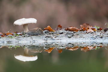 Common vole in autumn