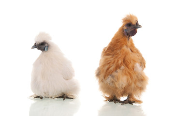 White and brown silkies
