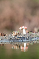 common Chaffinch near water