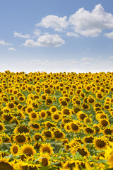 Blooming sunflowers field.
