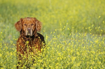 Dark golden retriever in flowers