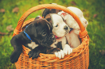Cute puppies in vintage basket outdoors