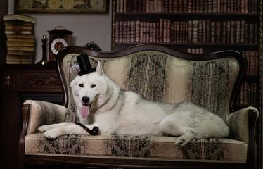 portrait husky dog with top hat and pipe on couch