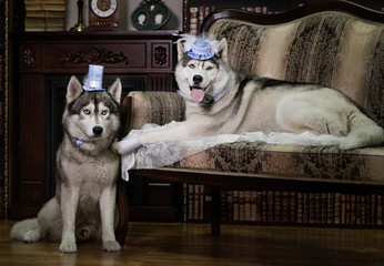 Portrait family husky dog