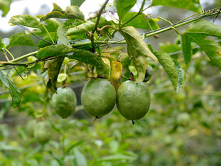 Passion fruit on the plant