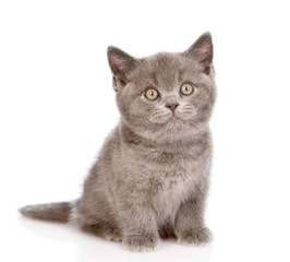 little british shorthair kitten sitting in front. isolated on wh
