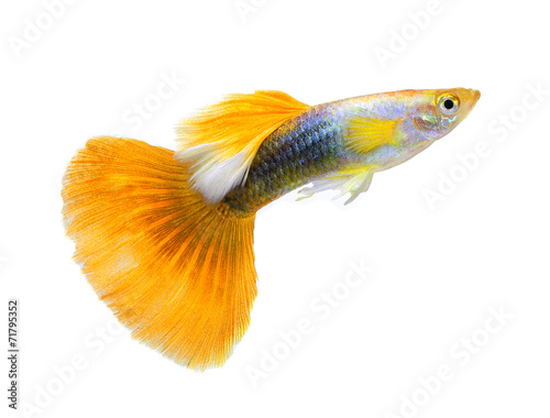 Papiers peints Paon guppy fish isolated on white background