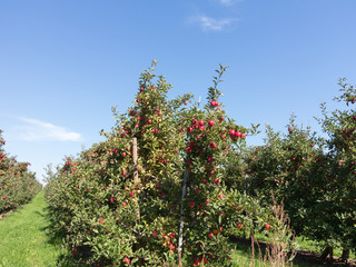 Apple Orchard