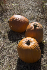Pumpkins in a field at Halloween time USA