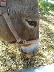 Tinkerbell the Donkey enjoying a carrot
