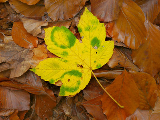 Maple leaf in autumn colors in nature