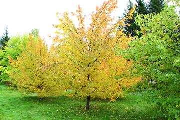 Кусты яблони осенью