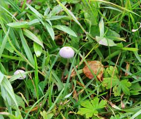 Грибы поганки в траве
