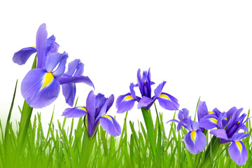 Iris flowers with dewy green grass isolated