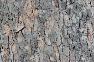 Maple Tree Bark Close-up