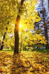 Maple tree in sunny autumn park