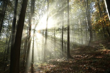 Sunbeams enter the misty autumn forest at dawn