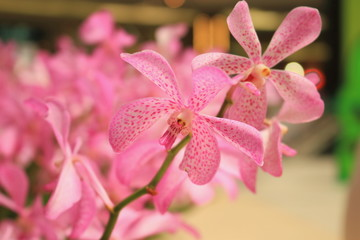 close up for the  pink orchid