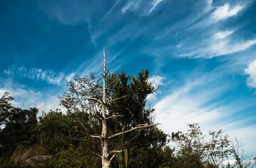 枯れ木と筋雲