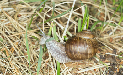 Burgundi snail or Escargot, Helix pomatia on grass