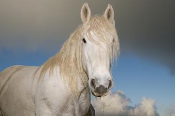 Ritratto di un cavallo bianco - stallone
