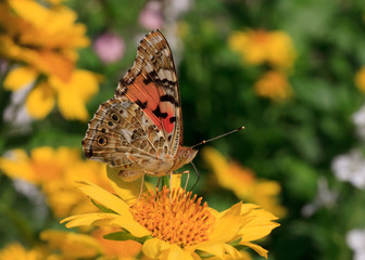 Cardinal butterfly sitting on yellow flower