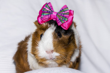 Portrait of a guinea pig with a bow