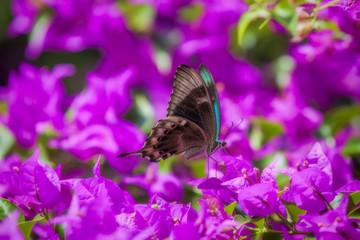 Blue Swallowtail Butterfly
