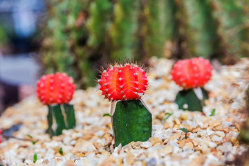 Colorful cactus in the garden