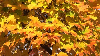 Colorful maple leaves in autumn or fall