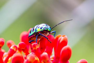 Lychee Shield Bug (Chrysocoris stolli, Scutelleridae)
