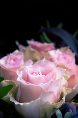 Delicate light-pink roses closeup on a black background