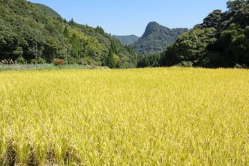 秋の内之尾の棚田の稲