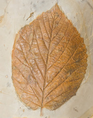 Fossil of a poplar leaf.